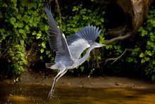 Grey Heron Bird, Ardea Cinerea, Taking Flight From The River Thames In Berkshire, UK