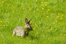 Wild Rabbit Munching Grass In A Field Of Buttercups