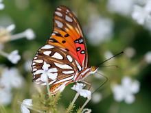 Gulf Fritillary Butterfly - Ag...