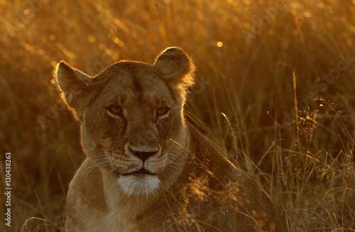 Fotografie, Obraz  Lioness in morning light, Masa Mara