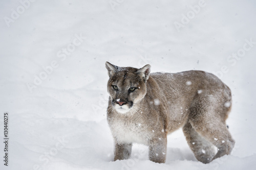 d5f5f7bc7ba4 Picture Of Cougar North American Mountain Lion Puma - Amatcard.co