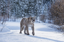Mountain Lion  Walking In Snow