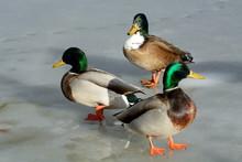 Wild Mallard-Swedish Duck Mixe...