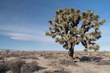 Joshua Tree (Yucca Brevifolia).
