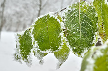 Leaves Covered With Frost In T...