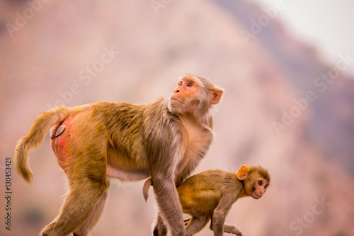 Wild monkeys, Jaipur, Rajasthan, India, Asia Poster