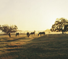 Herd Of Thoroughbreds Grazing ...