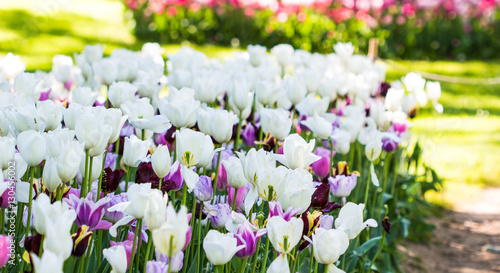 tulip / tulips inside garden / white flowers with sunlight in park / beautiful tulips.