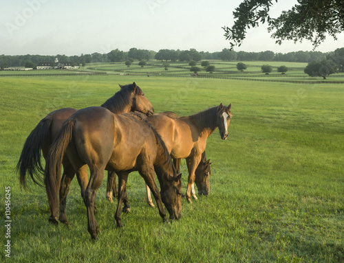 Photo  Group of  Thoroughbred yearlings in open paddock with upscale barn in distance