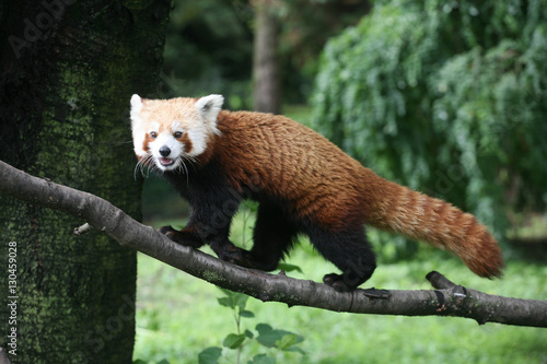 Stickers pour portes Panda Red panda on the tree branch