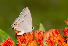 Beautiful, Tiny Gray Hairstreak Butterfly Resting On An Orange Butterflyweed