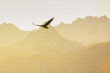 Bald Eagle, Kenai Peninsula, Alaska