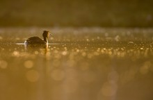 Great Crested Grebe, Podiceps ...