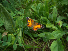 American Lady (Vanessa Virginiensis) Butterfly On Green Plants