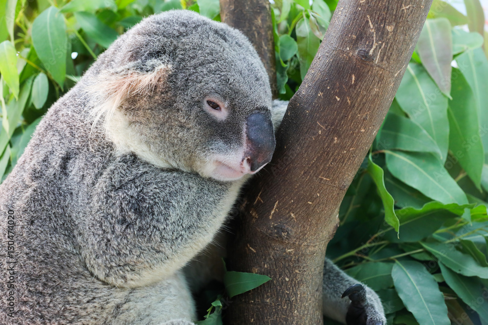 koala sleeping on tree