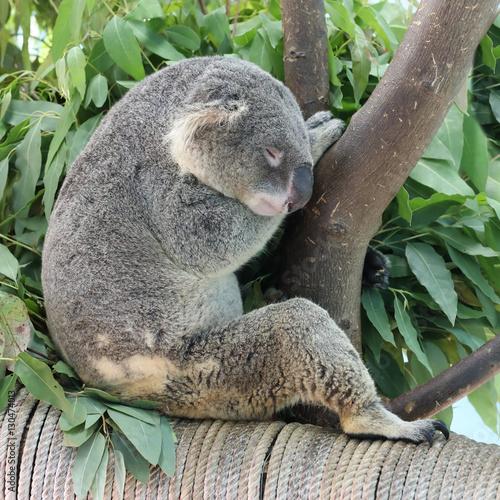 Printed kitchen splashbacks Australia koala in the open zoo Khao Kheo in Thailand
