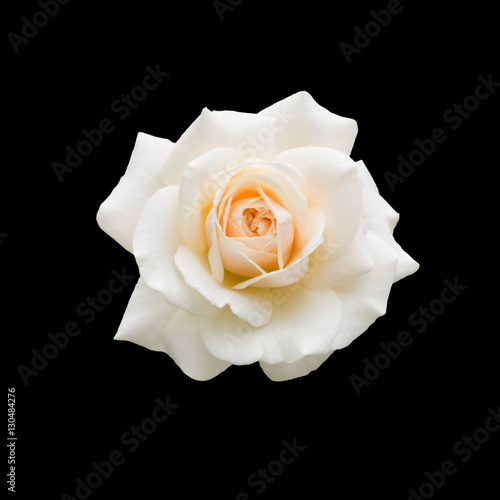 Staande foto Roses beautiful white rose