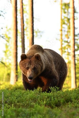 Obrazy na płótnie Canvas brown bear (ursus arctos)