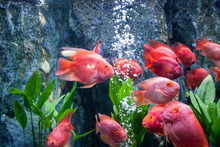 Red Blood Parrot Fish