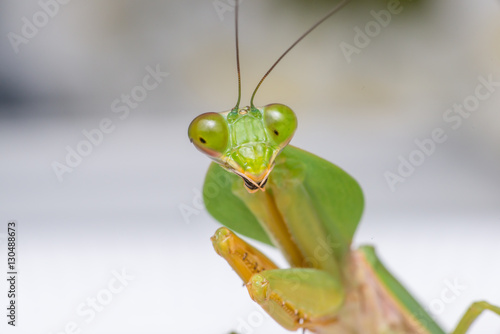 Fotografie, Obraz  Giant Malaysian shield praying mantis (Rhombodera Basalis) resting on a white po