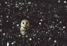 Barn Owl Winter Portrait With ...