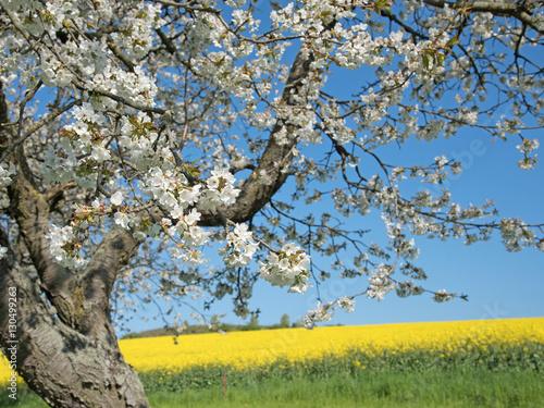 Fotografía  Cerezo en flor, primavera, campo de la violación