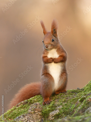 Cuadros en Lienzo  Red Squirrel (Sciurus vulgaris)