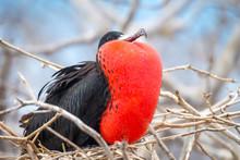 Male Magnificent Frigate Bird ...
