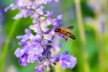 Bee With Purple Salvia