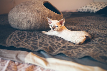 Fototapeta na wymiar Cute funny Devon Rex kitten is resting and laying on a bed on a soft wool blanket. Happy chilling cat. Scandinavian style, natural colors