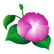 Pink Morning Glory With Green Leaves