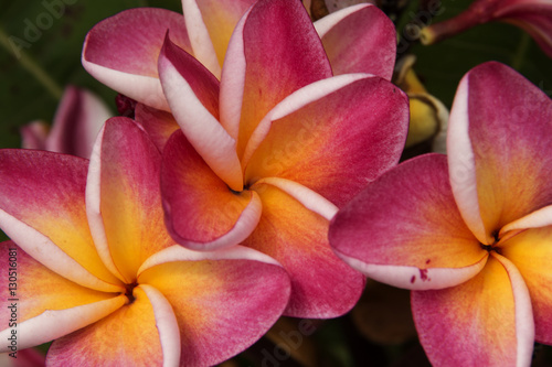 Five Petal Pink Flowers Frangipani Plumeria With Yellow Center