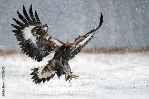 In de dag Eagle Golden Eagle (Aquila chrysaetos)