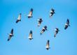 canvas print picture - fliegende Kraniche im blauen Himmel