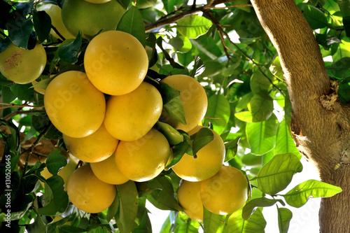 Fotografia  Grapefruit tree - Citrus X paradisi.