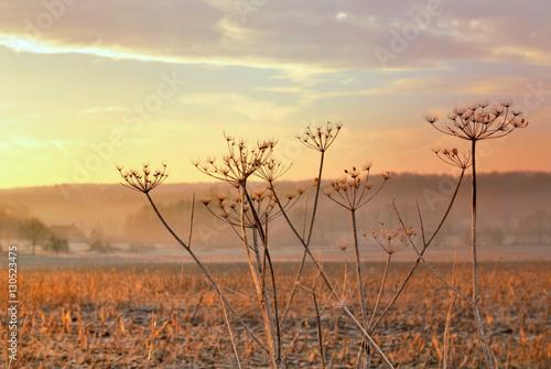 Valokuvatapetti ombellifère  dans la campagne au crépuscule