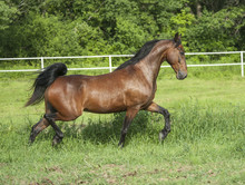 Morgan Horse Stallion Trots