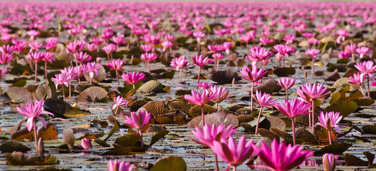 Fototapeta Vintage sweet lotus flowers soft blur for background.