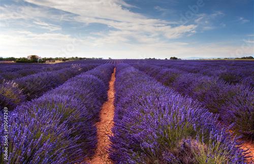 Fototapeta Landscape with lavender field  in Provence obraz na płótnie