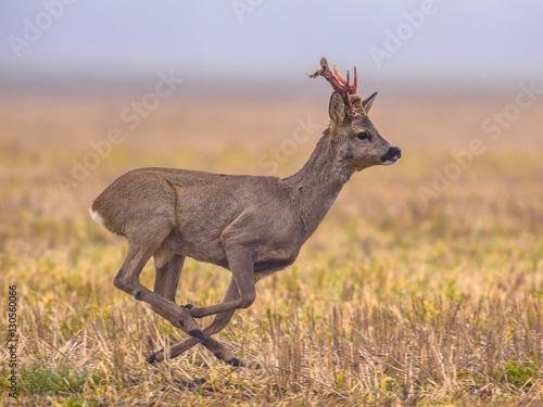 Fotografía Roe deer running