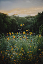 View Of Yellow Flowers Blooming In Field During Sunset