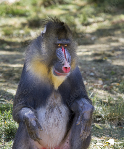 Poster Parrot The male mandrill