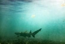 Lemon Shark In The Shallows 4
