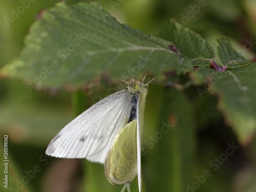 Hidden butterflies mating