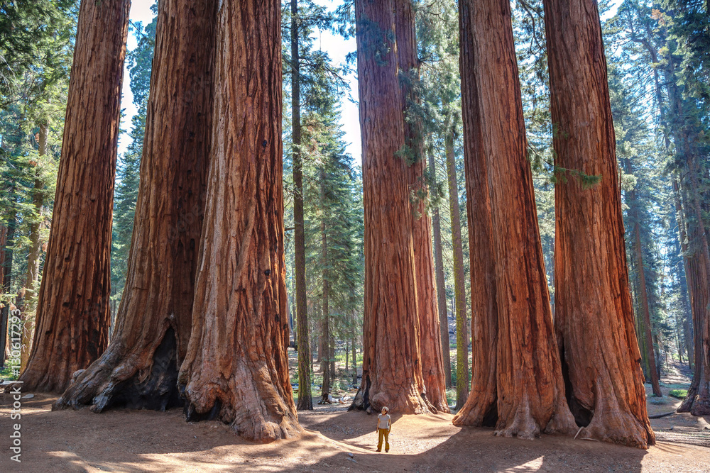 Fototapety, obrazy: Scale of the giant sequoias, Sequoia National Park. California. U.S