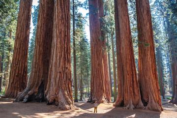 Ljestvica divovskih sekvoja, Nacionalni park Sequoia. Kalifornija. NAS