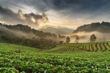 View Of Strawberry Farm With Sunrise Morning In The North Of Thailand. Angkhang Chiang Mai,Thailand