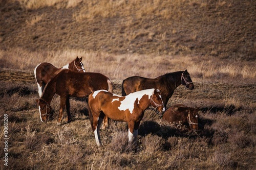 herd of stallions on hillside at sunset