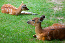 Two Young Antelope Sitatunga R...