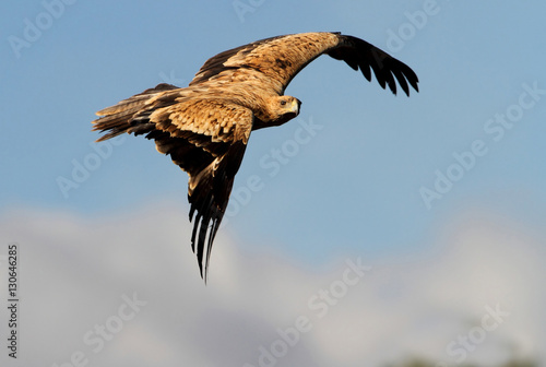 Fotografía  2-3 years old Spanish imperial eagle flying. Aquila adalberti